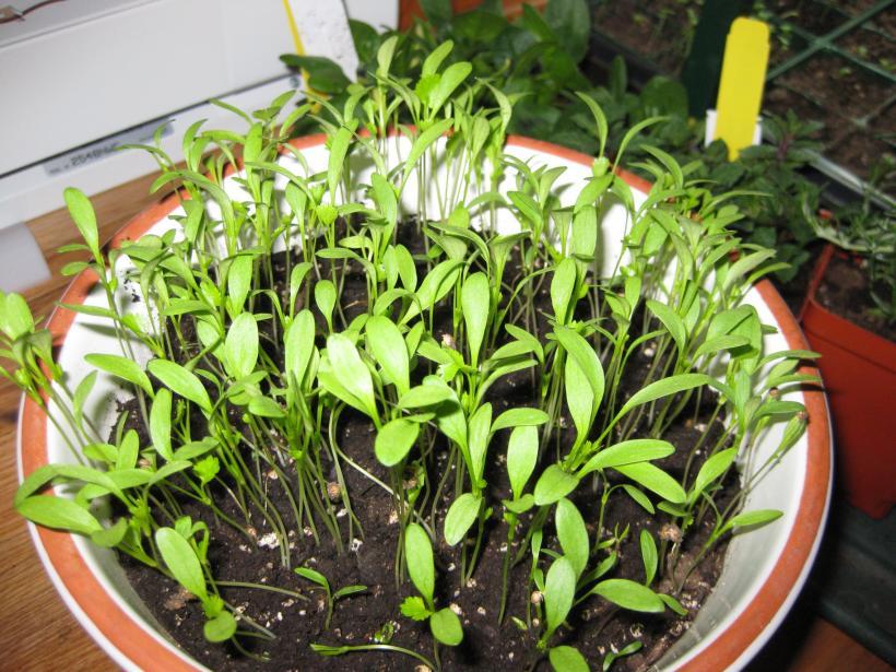 Plantas jóvenes de cilantro