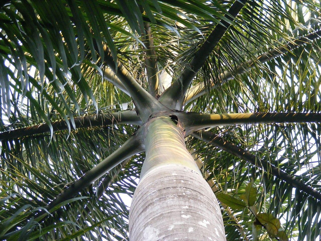 La Roystonea regia es una palmera preciosa