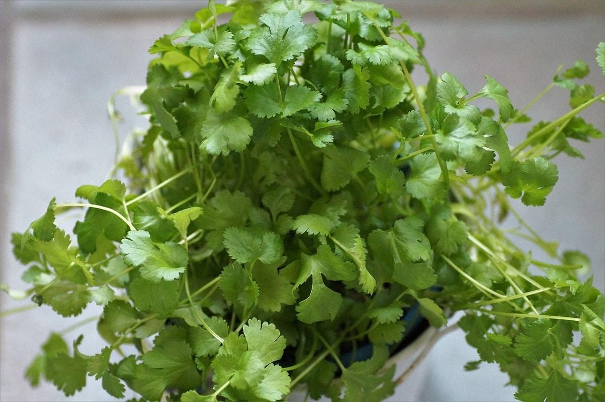 El cilantro se puede tener en maceta