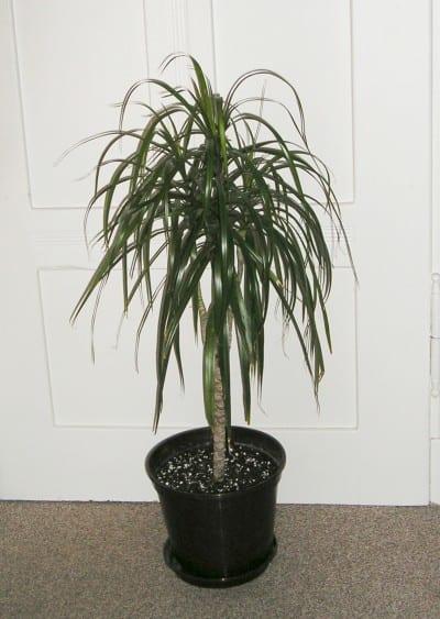 Dracaena marginata, ejemplar en maceta