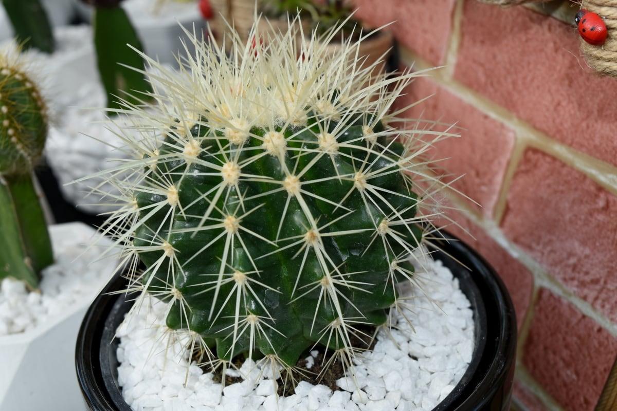 Los cactus en maceta se riegan más que los que están en suelo