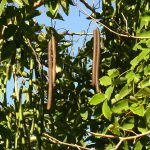 Los frutos de la Cassia fistula son muy largos