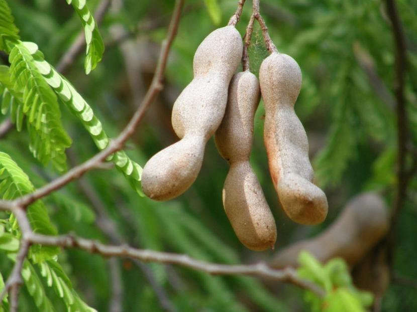Frutos de Tamarindo