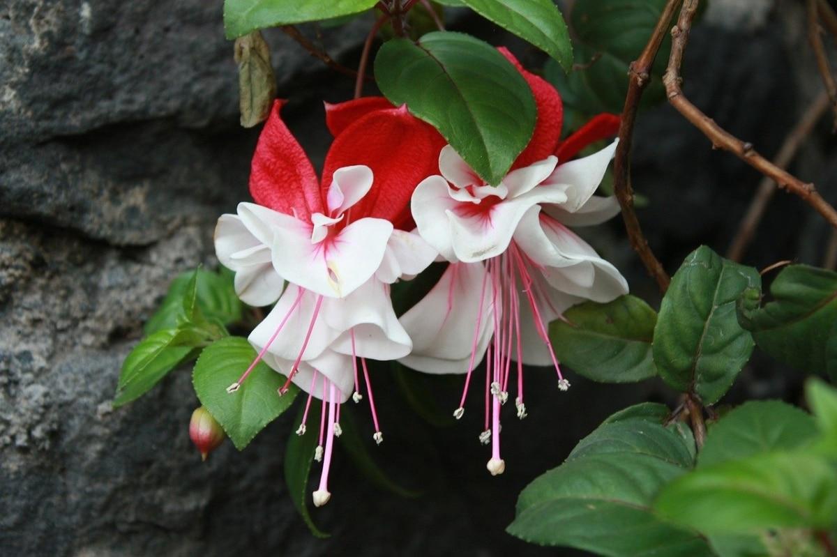 La fucsia es un arbusto que quiere poco sol