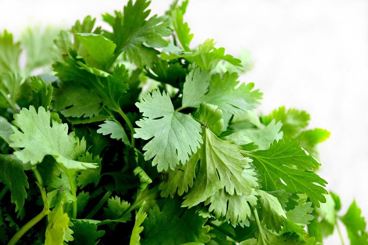 El cilantro es una hierba que se usa como condimento