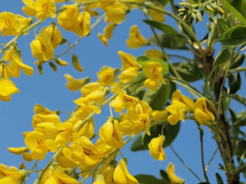 Caracter sticas y cuidados del rbol lluvia de oro for Arboles plantas y flores