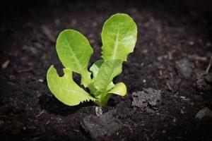 Las semillas de lechuga germinan rápido