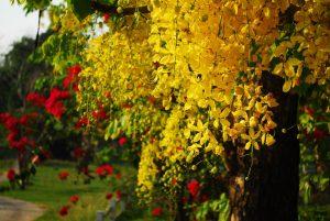 La lluvia de oro es una planta de flores amarillas