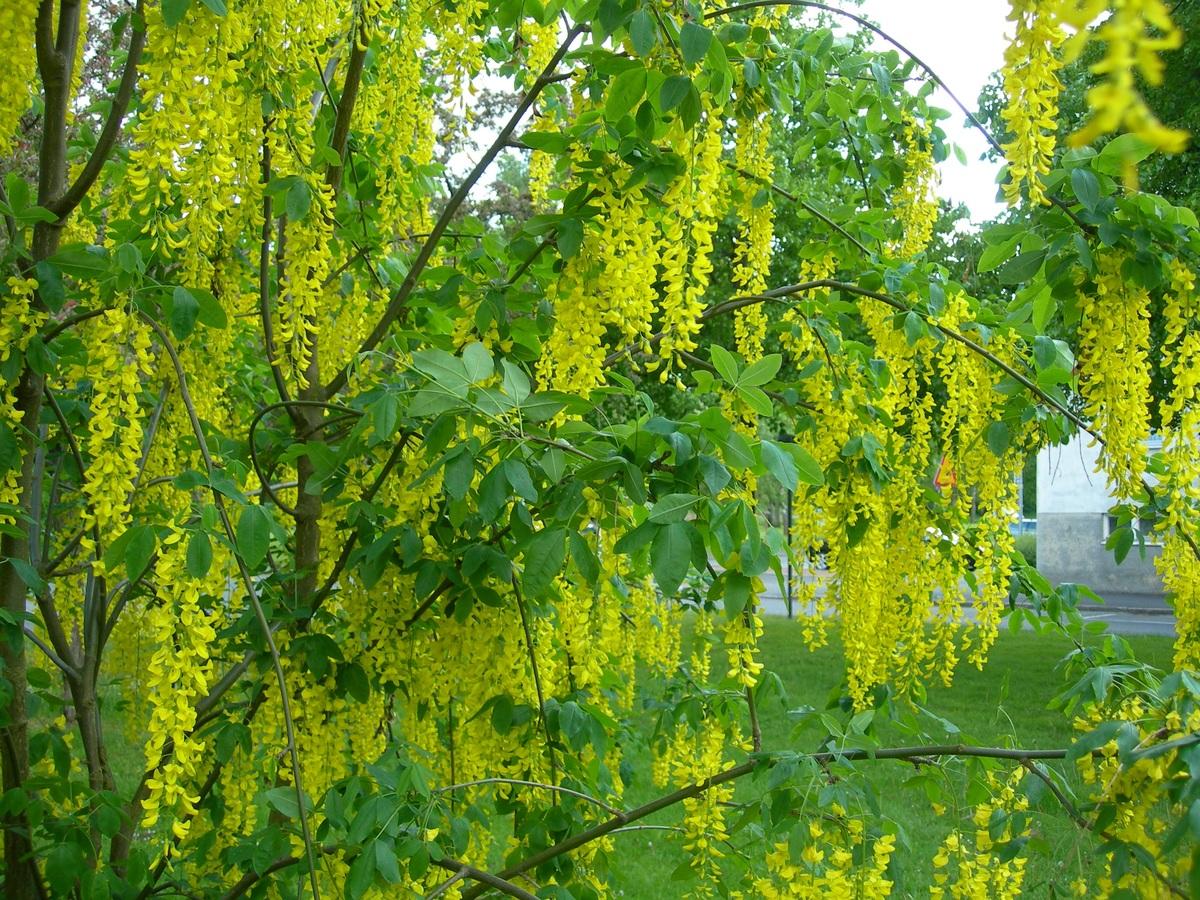 Hay dos árboles que se llaman lluvia de oro