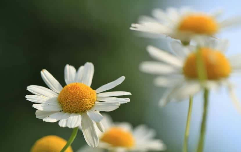 La manzanilla es una planta que atrae a las mariquitas