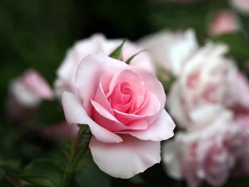 Rosa Only Lyon