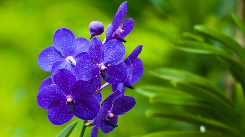 Como Cultivar Orquideas Azules
