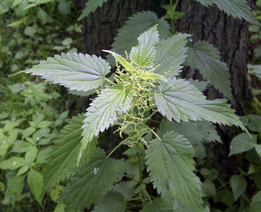 Ortiga, una planta que repele los pulgones