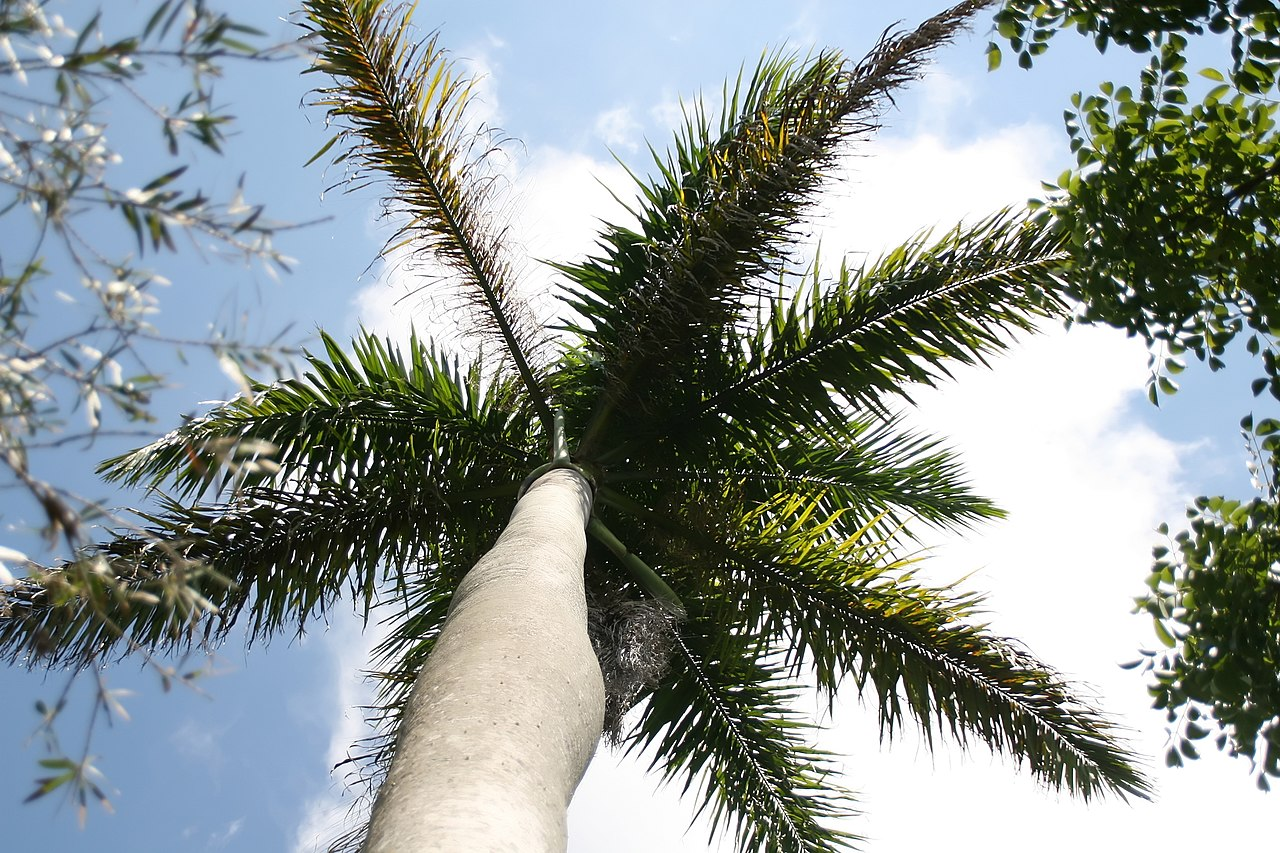 La Roystonea regia es una palmera de rápido crecimiento