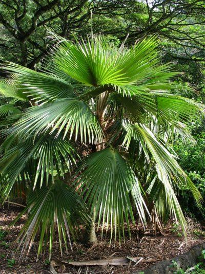 La Pritchardia minor es una palmera de semisombra