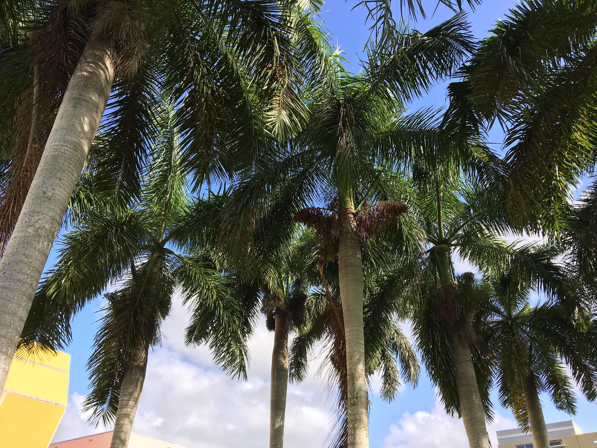 La Roystonea regia es una palmera de gran tamaño