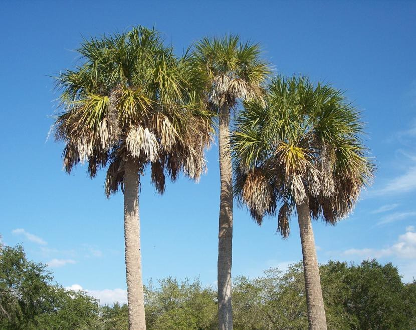 Vista del Sabal palmetto
