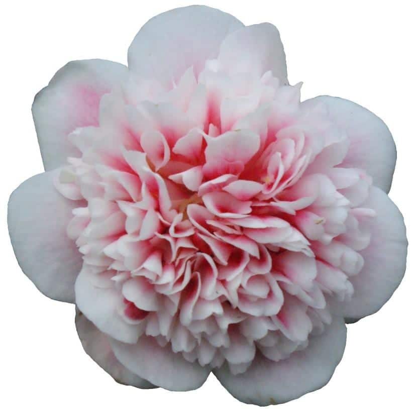 Camelia de flor blanca y rosa