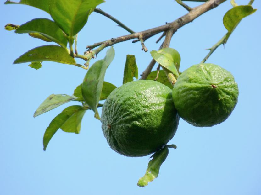 Citrus autantiifolia