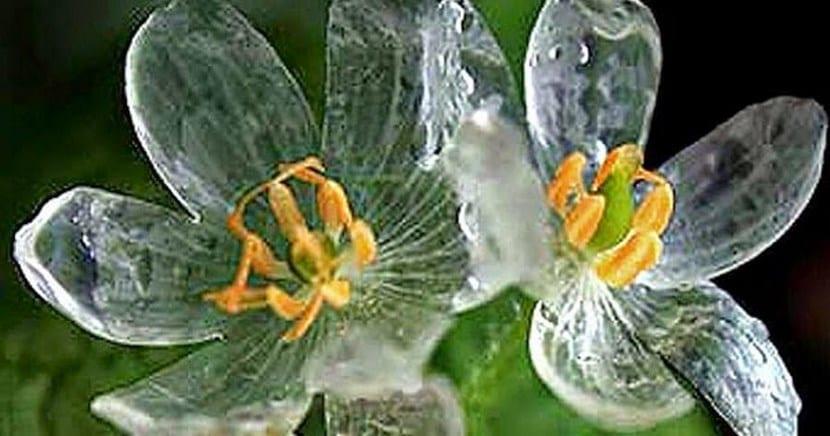 Grayi Diphyllelia, la flor de cristal