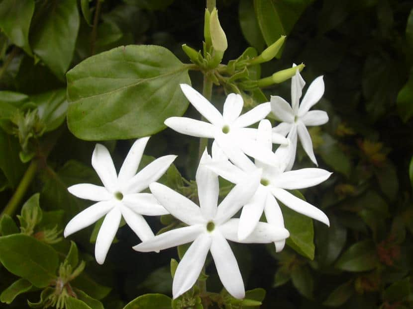 Jasminum multiflorum