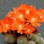 Rebutia spinossissima en flor
