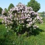 Syringa pubescens