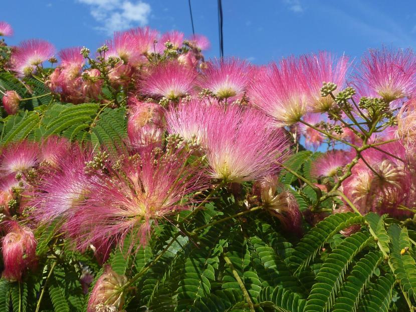 Lista de rboles ornamentales para macetas for Imagenes de arboles ornamentales