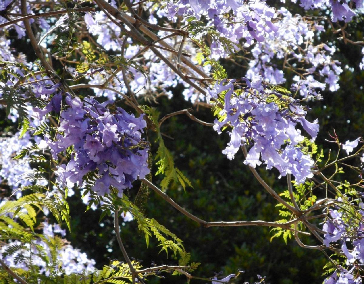 El Jacarandá es un árbol de rápido crecimiento