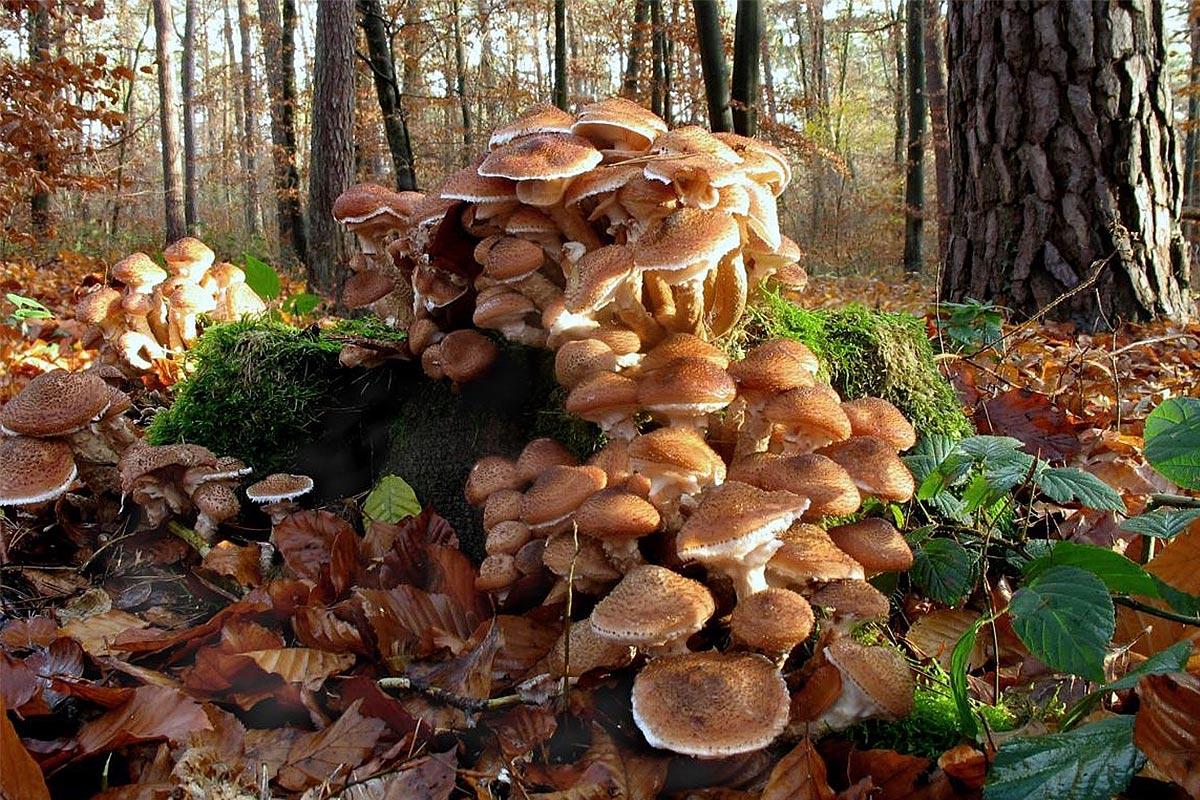 El hongo más grande del mundo es una Armillaria