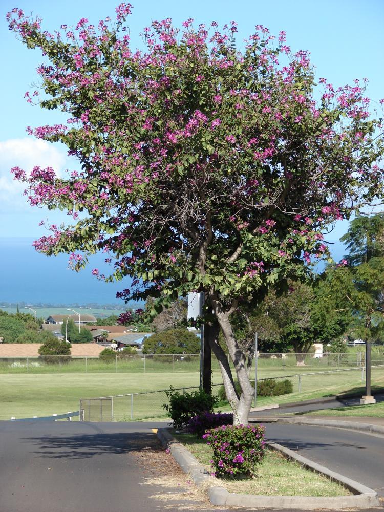 Rboles peque os para jard n for Arboles de hoja perenne para clima mediterraneo
