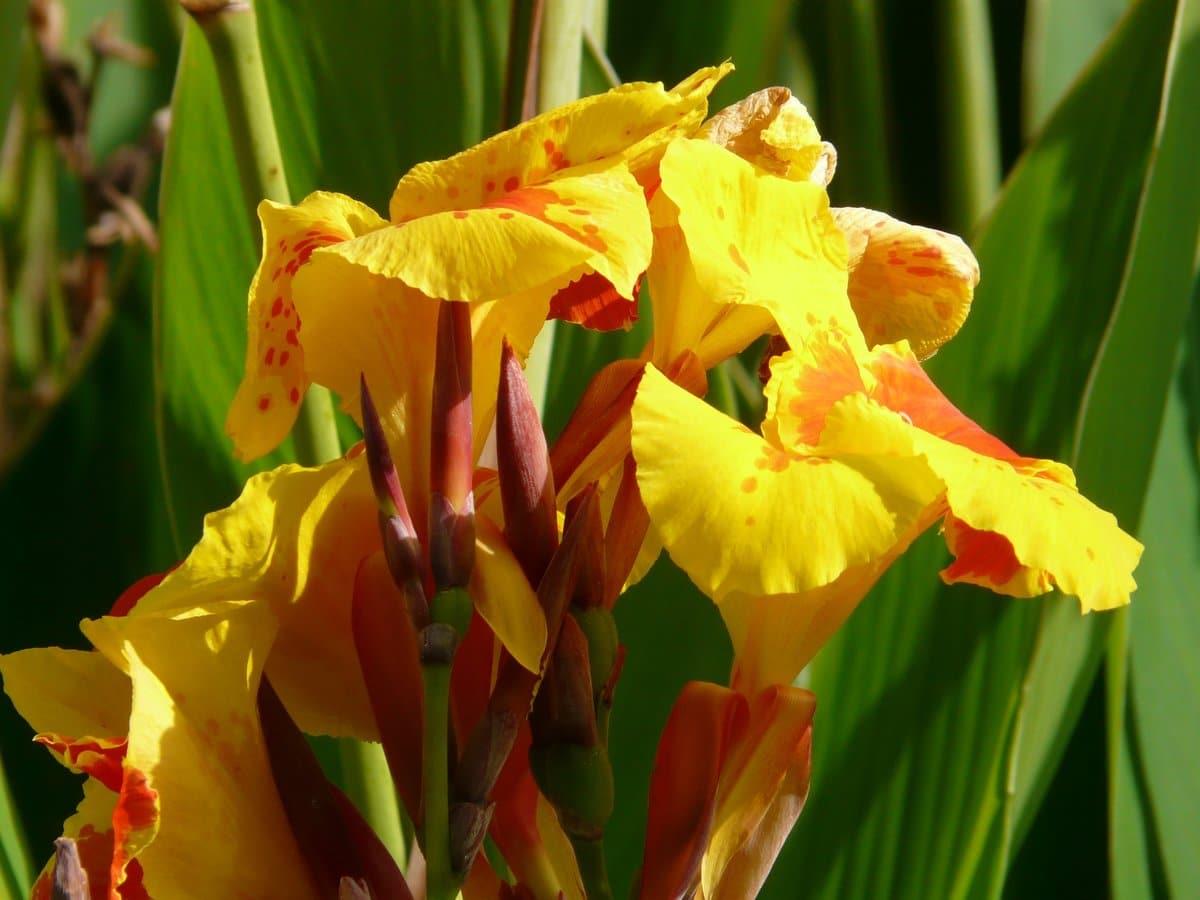 La caña de India es una planta perenne