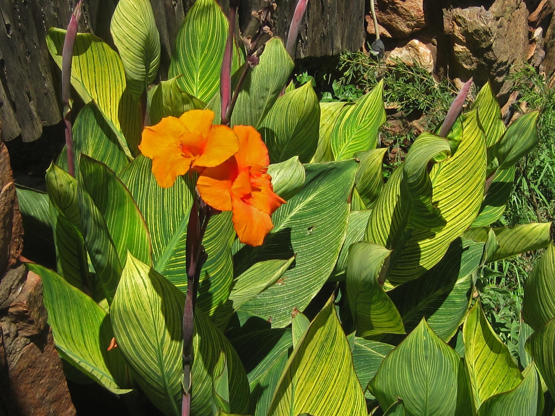 La Canna indica es una planta rizomatosa