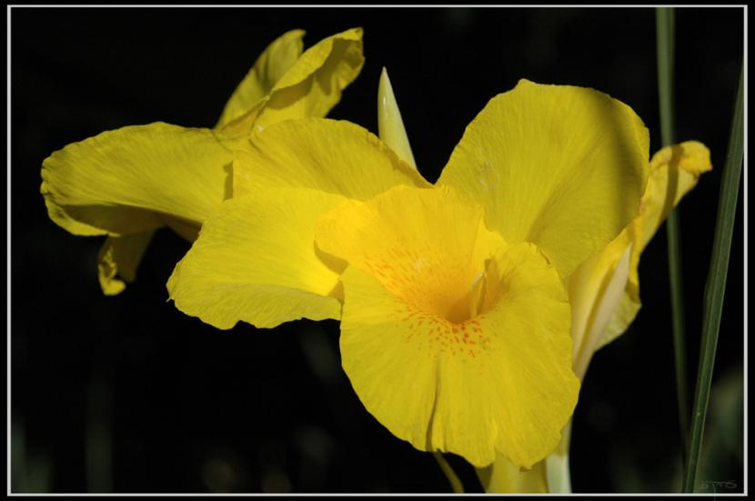 Canna amarilla