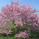 Árbol de Cercis siliquastrum