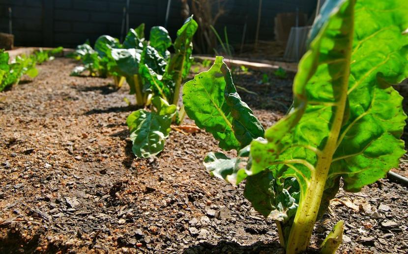 Espinacas en jardín