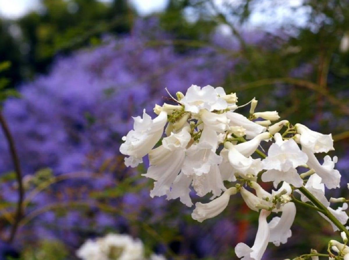 El jacarandá puede tener las flores blancas
