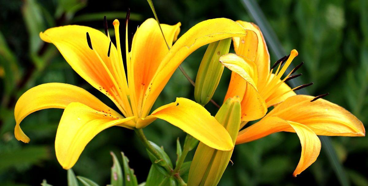 Los lirios amarillos quedan genial en un jardín