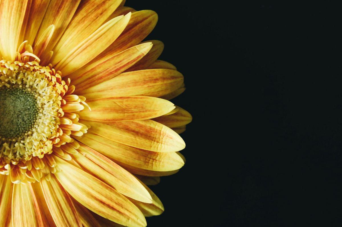 La flor amarilla tiene muchos significados