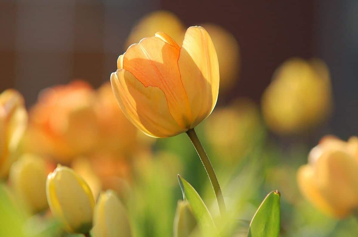 Los tulipanes amarillos transmiten alegría