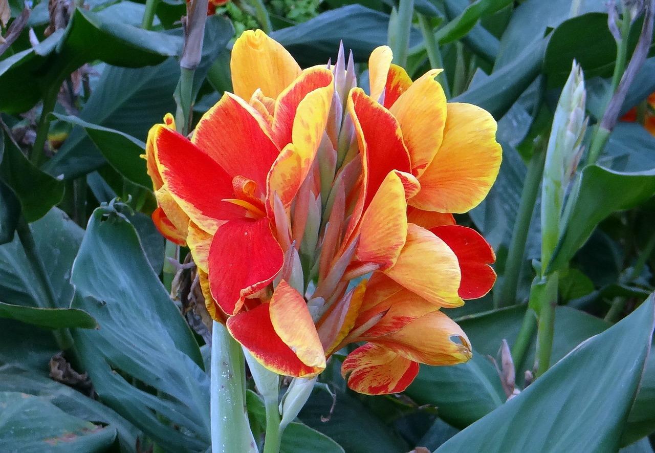 Las flores de la Canna indica pueden ser de varios colores