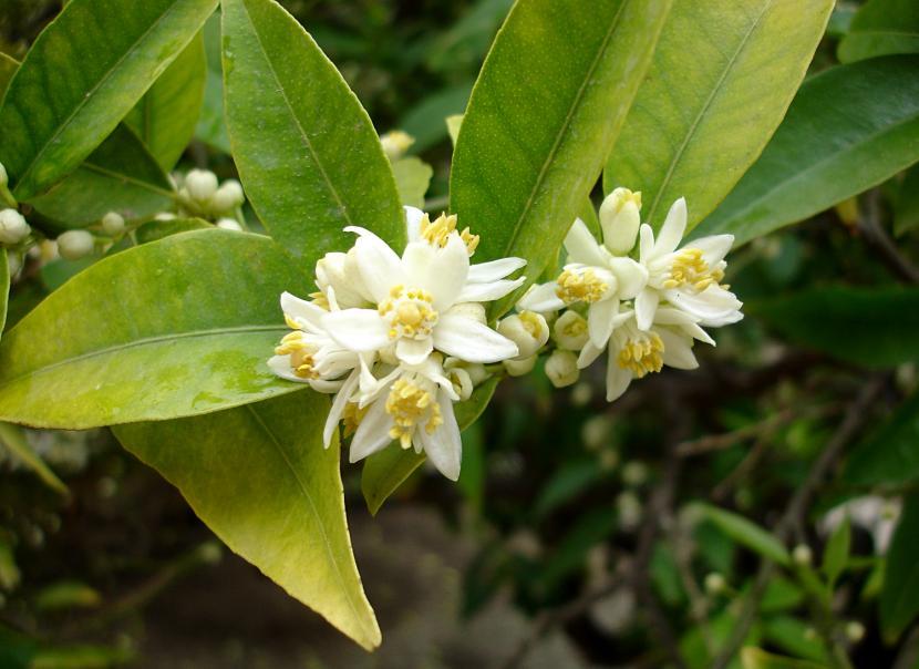 Flores de Kumquat