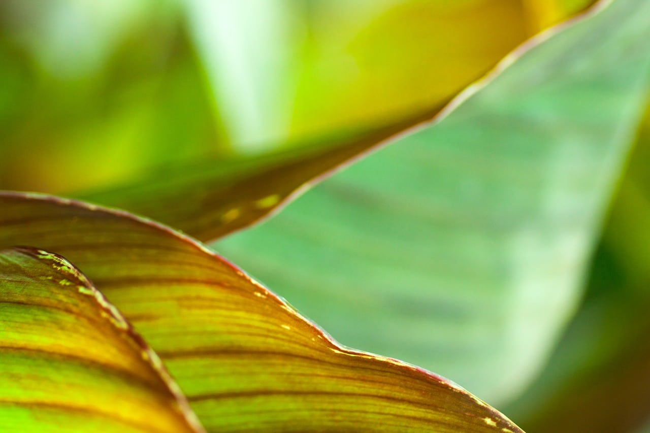 Las hojas de la Canna indica pueden ser verdes o de colores