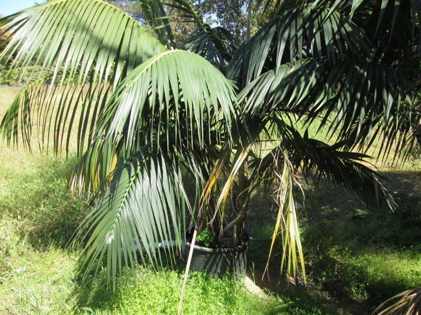 Las hojas y el tronco de la kentia son muy decorativos