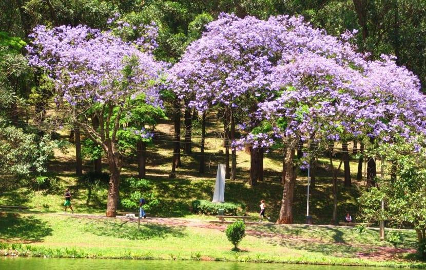 Cuidados del jacarand for Arboles ornamentales para jardin