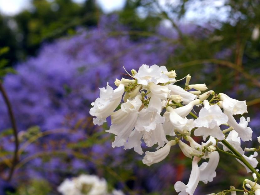 Jacarandá flor blanca