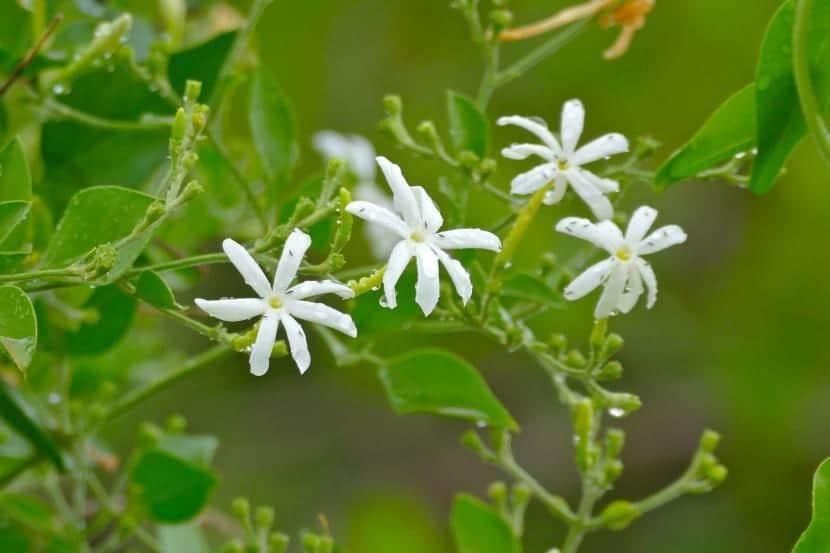 Planta de jazmín en flor
