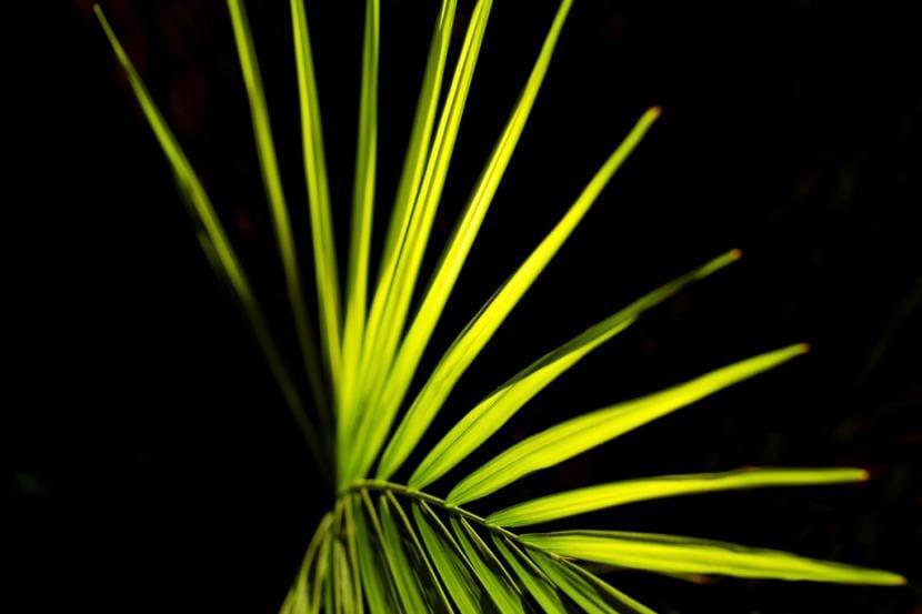Las hojas de las palmeras pueden ser pinnadas