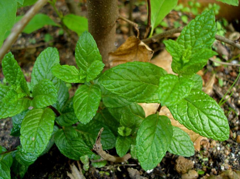 Planta de menta