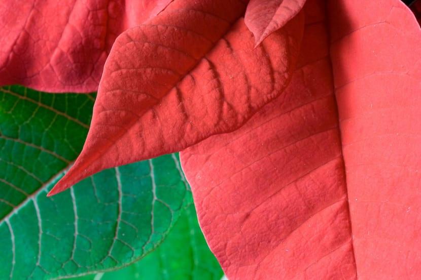 C mo enrojecer las hojas de la flor de pascua - Que cuidados necesita la flor de pascua ...